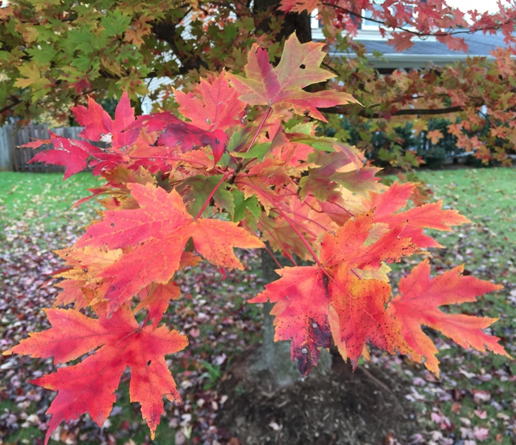 ACER X FREEMANII AUTUMN BLAZE