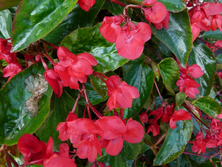 BEGONIA X DRAGON WING RED